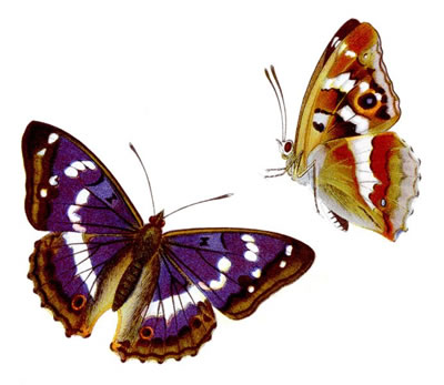 Purple Emperor Butterflies