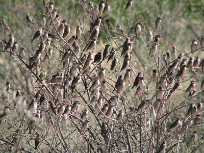 Colony of red-billed queleas, photo by Alastair Rae