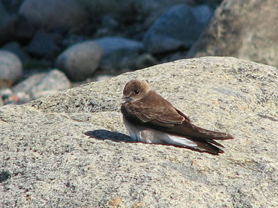 Sand martin or bank swallow; photo by D Gordon E Robertson