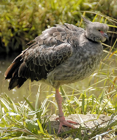 Southern Screamer or Crested Screamer