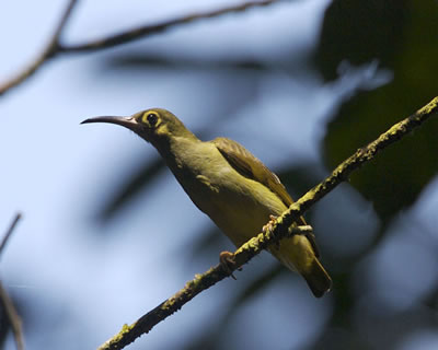 Spectacled spiderhunter, photo by Lip Kee Yap