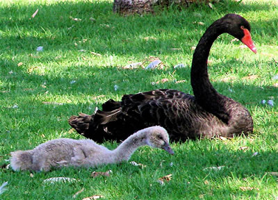 Black swan with cygnet