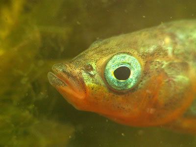 Head of male three-spined stickleback, photo by Piet Spaans