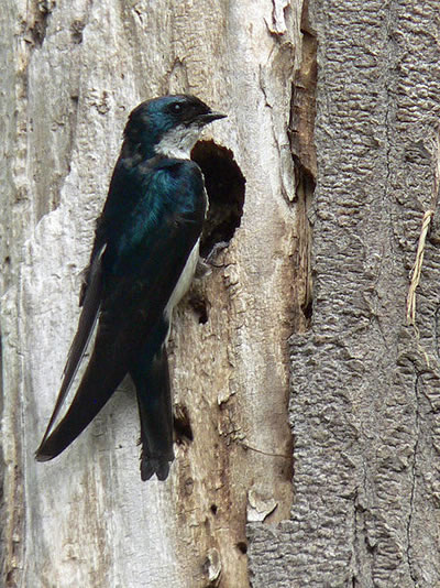 Tree swallow; photo by Walter Siegmund