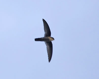 Uniform swiftlet; photo by Lip Kee Yap