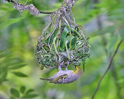 Village weaver building a nests, photo by Doug Janson