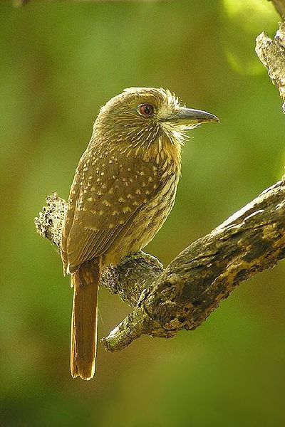 White-whiskered puffbird, photo by Lee Blumin