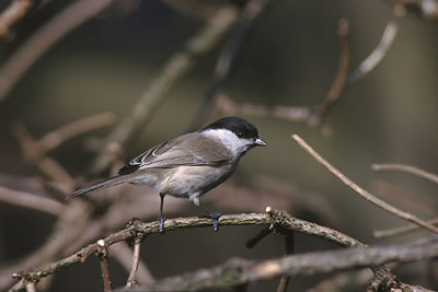 Willow tit, photo by Marek Szczepanek