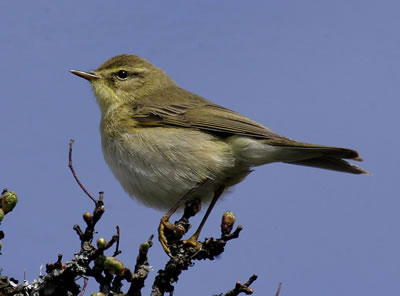 Willow Warbler Leaf Warbler, photo by Aviceda