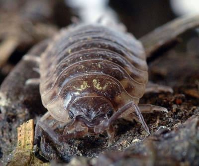 Woodlouse, photo by Andre Karwath