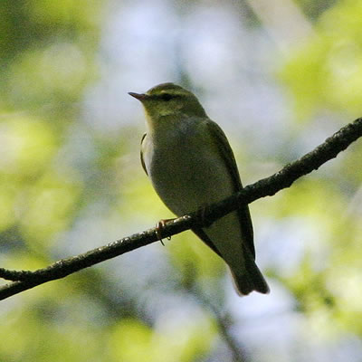Wood Warbler Leaf Warbler, photo by Oskila